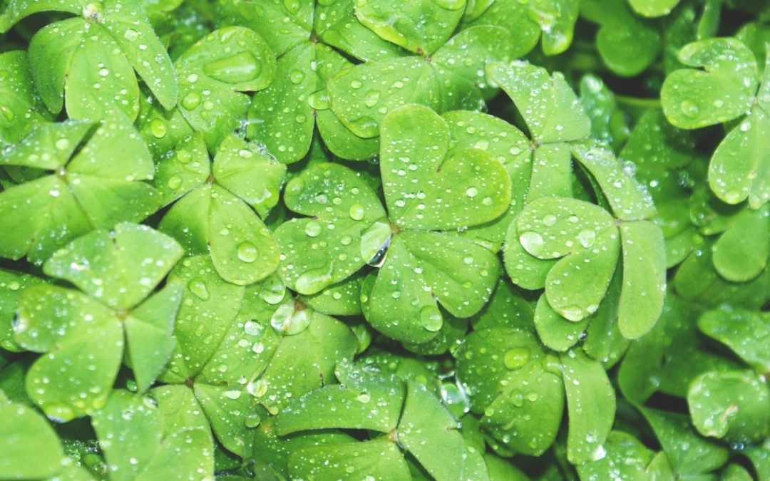 A bunch of shamrocks